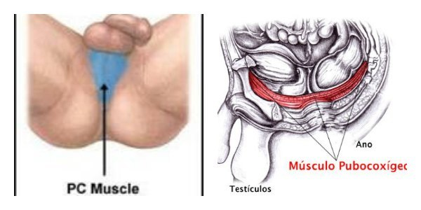 Musculo pubocoxigeo